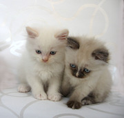 Красивые Балинезийские котята.