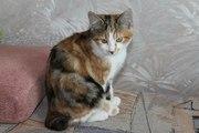 Котята породы курильский бобтейл