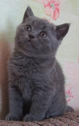 Продается британский голубой котик