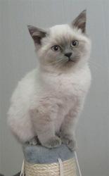 Продается британский котик окраса колорпойнт