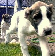 Продам щенков кавказского волкодава (2.5 месяца )