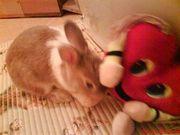 Продам декоративного кролика (девочку)
