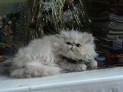 Продам персидскую кошечку